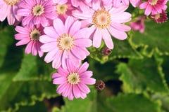 Cineraria flowers Stock Image