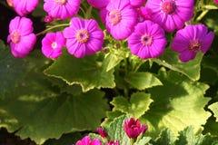 Cineraria flowers Stock Photos