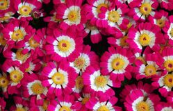 Beautiful and colorful spring flowers Cineraria