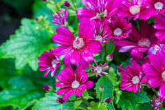 Cineraria flowers Stock Photography