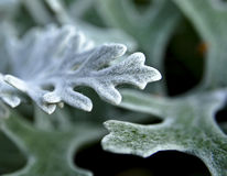 Cineraria leaves close up Stock Photo