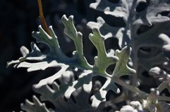 Silver dust Cineraria maritima in the garden, close up. Royalty Free Stock Photography