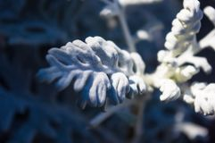 Silver dust Cineraria maritima in the garden, close up. Stock Photography