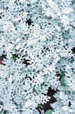 Cineraria maritima Silver Dust Stock Photography