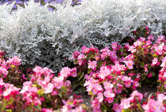 Cineraria maritima silver dust and pink flowers. Soft Focus Dusty Miller Plant. Background Texture Royalty Free Stock Photos