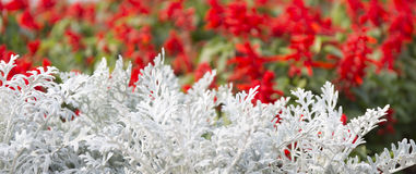 Cineraria maritima silver dust and red flowers. Soft Focus Dusty Miller Plant. Background Texture Royalty Free Stock Photography