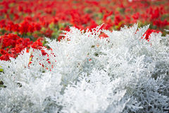 Cineraria maritima silver dust and red flowers. Soft Focus Dusty Miller Plant. Background Texture Stock Photos