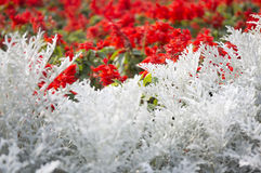 Cineraria maritima silver dust and red flowers. Soft Focus Dusty Miller Plant. Background Texture Stock Photography
