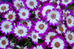 Cineraria. NTwo-colored cineraria - variegated, bright, indoor flowers Stock Photos