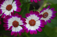 Cineraria. NTwo-colored cineraria - variegated, bright, indoor flowers Royalty Free Stock Photography