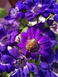 Cineraria púrpura con una abeja que chupa su néctar imagen de archivo