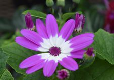 Cineraria purpere en witte bloemen Royalty-vrije Stock Foto