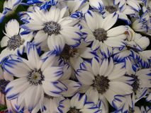 Cineraria`s flowers - White and blue. The cineraria is a plant of the daisy family with compact masses of bright flowers, often cultivated as a houseplant royalty free stock photo