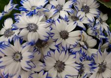 Cineraria`s flowers - White and blue. The cineraria is a plant of the daisy family with compact masses of bright flowers, often cultivated as a houseplant royalty free stock image