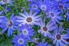Cineraria Senetti Lavender. Field of ornamental lavender color plant for garden, park. Landscape design concept. Close up stock images