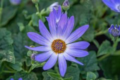 Cineraria Senetti Lavender. Ornamental lavender color plant for garden, park. Landscape design concept. Close up royalty free stock image