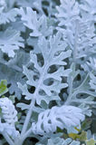 Cineraria silver dust Royalty Free Stock Images