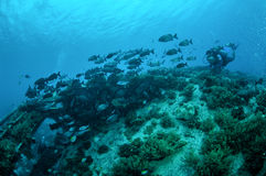 Cinerascens för Kyphosus för dykare- och gruppfärnafiskar simmar ovanför korallrever i Gili, Lombok, Nusa Tenggara Barat, Indones royaltyfri foto