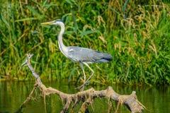 Cinerea Ardea - Gray Heron på filial Arkivbild