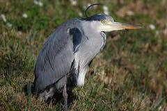 Cinerea Ardea - Grey Heron stock afbeelding
