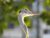 cinerea grå heron för ardea Arkivfoto