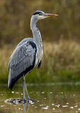 cinerea grå heron för ardea Arkivfoton