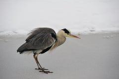 cinerea grå heron för ardea Royaltyfria Bilder