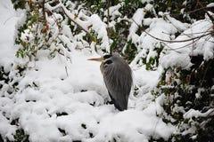 cinerea grå heron för ardea Arkivbilder
