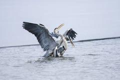 cinerea grå heron för ardea Royaltyfri Foto
