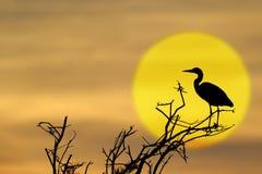 cinerea grå heron för ardea Royaltyfri Fotografi
