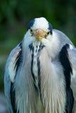 cinerea grå heron för ardea Arkivbild