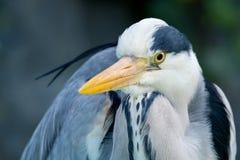 cinerea grå heron för ardea Fotografering för Bildbyråer
