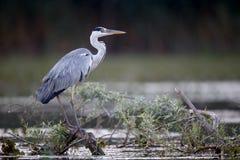cinerea grå heron för ardea Royaltyfria Foton