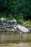 Cinerea Jagden Grey Heron Ardeas fischen in der Bank des Flusses lizenzfreies stockfoto
