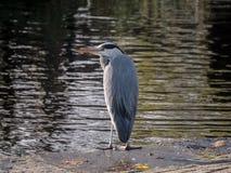 Cinerea Porträt Grey Herons/des Ardea, das auf Rand des Docks mit dem Hals zurückgezogen steht lizenzfreies stockfoto