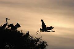 Cinerea silhouttes Grey Heron Ardeas Stockbild