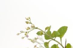 Cinerea Vernonia mindre gräs på vit bakgrund royaltyfria bilder