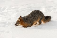 Cinereoargenteus серой лисицы серого Fox заискивает в снеге Стоковое Изображение