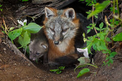灰狐狸(灰狐狸类cinereoargenteus)和成套工具在小室入口坐 免版税库存照片