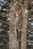 Cinereoargenteus de Grey Fox Urocyon no lado da árvore Fotografia de Stock Royalty Free