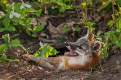 Cinereoargenteus de Grey Fox Vixen Urocyon con el mosquito en nariz Foto de archivo libre de regalías