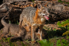 Cinereoargenteus di Grey Fox Vixen Urocyon con i corredi sotto lei Immagine Stock Libera da Diritti