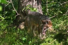 Cinereoargenteus di Grey Fox Vixen Urocyon in legno Fotografia Stock