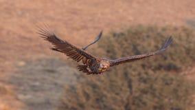 Cinereous летание хищника стоковое изображение rf