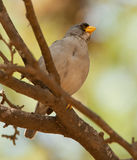 cinereous finch Royaltyfri Foto