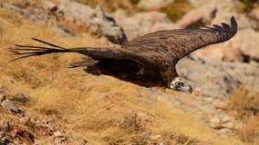 Cinereous Geier Aegypius monachus im Flug Lizenzfreies Stockbild