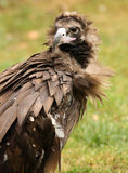 Cinereous Vulture. Portrait of an endangered male Cinereous Vulture Royalty Free Stock Photos