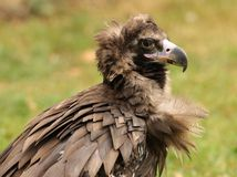 Cinereous Vulture Royalty Free Stock Image