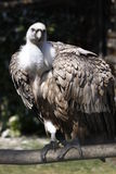 Cinereous vulture Stock Images