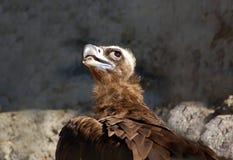 Cinereous vulture. Portrait of a rare cinereous vulture bird Stock Photo